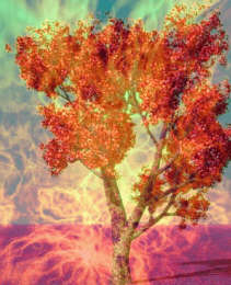 Fruit Tree of fire